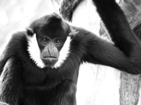 Grumpy Gibbon
