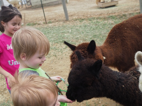 The kids went to an open barn this afternoon to meet some friendly Alpacas and learn about their wool.